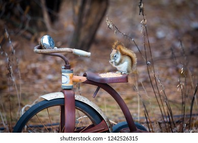 cute little red squirrel sitting on an antique metal trike in garden. soft background focus of browns and autumn leaves.