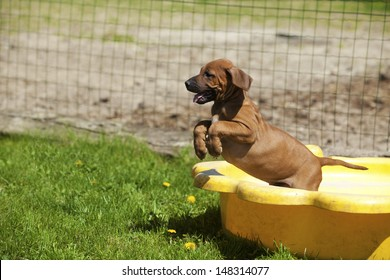 A cute little Rhodesian Ridgeback Puppy is playing outside andjumps out of a yellow shell