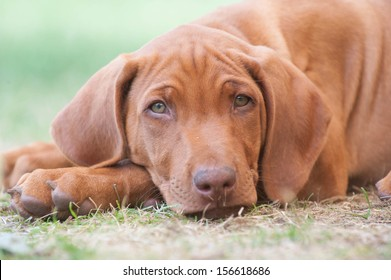 Cute little Rhodesian Ridgeback puppy is snoozing in garden. It is looking straight into the camera while lying in the green grass.  The little dogs are five weeks of age.