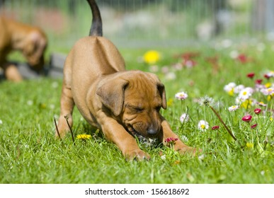 Cute little Rhodesian Ridgeback puppy playing in the grass in garden. It is biting in a flower and has a funny expression in face while stretching the whole body. The little dog is five weeks of age.