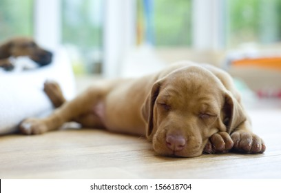 Cute little Rhodesian Ridgeback puppy sleeping on the ground. The little dogs are four weeks of age.