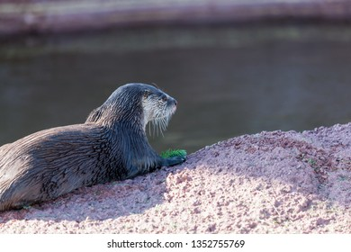 A cute little river otter laying on a rock next to water playing with a small green branch of a tree.