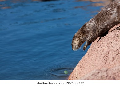 A cute little river otter running on a rock to jump into a pond while playing with a small green branch of a tree.