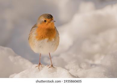 Cute little robin in the snow, in Sonsbeek park Arnhem, Netherland