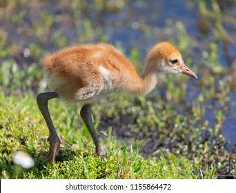 Cute little sandhill crane chick in Florida Marsh