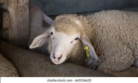 cute little sheep in farm