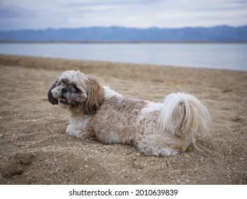 A cute little Shihtzu dog sitting on the sand of the beach