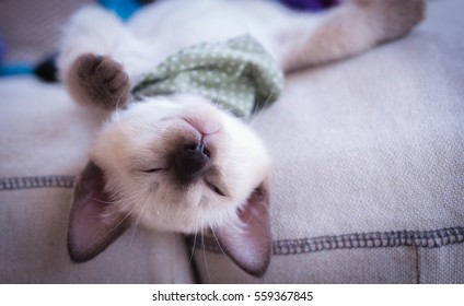 Cute little Siamese cat sleeps on fabric sofa