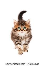 Cute little Siberian kitten isolated on white background
