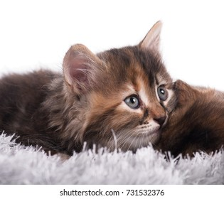 Cute little siberian kitten on a warm knitted scarf over white background