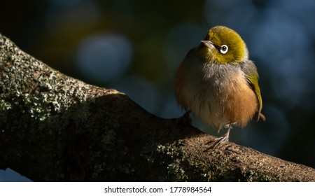 Cute  little silver eye bird (wax eye, white eye, tauhou) sitting on a branch in a NZ garden.