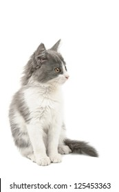 Cute little sitting  grey and white fluffy kitten isolated on white background