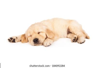 A cute little six week old Golden Retriever puppy sleeping on a white background