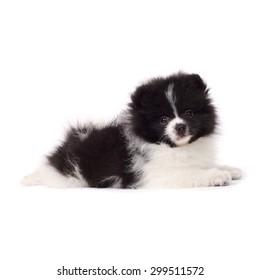 cute little spitz puppy closeup