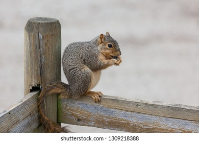 A cute little squirrel with fur missing on its tail sitting on a fence eating a blueberry with a blurred background.