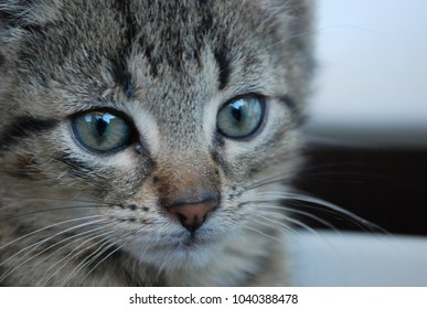 cute little tabby kitten looking in camera