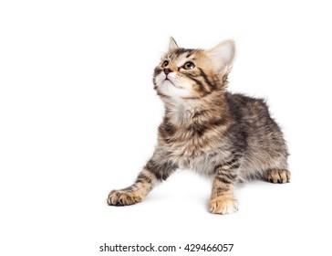 Cute little tabby kitten sitting on white background looking to side