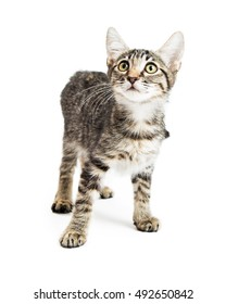 Cute little tabby kitten standing on white background looking up