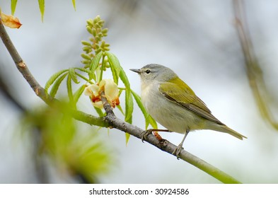 Cute little Tennessee Warbler perched on a branch in Spring.