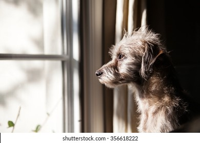 Cute little terrier crossbreed dog looking out a window with morning light illuminating his face
