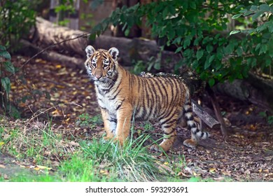Cute little Tiger playing in the grass