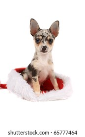Cute little unique black spotted chihuahua with one blue eye and one brown sitting inside a christmas santa hat