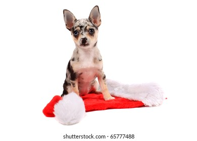 Cute little unique black spotted chihuahua with one blue eye and one brown standing on a christmas santa hat