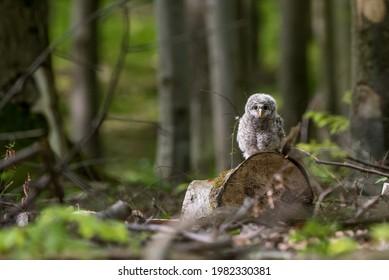Cute little Ural owl chick perching on a fallen tree