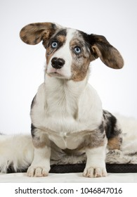Cute little welsh corgi cardigan puppy. Image taken in a studio with white background. Big fluffy ears and blue eyes.