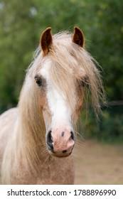 Cute little welsh pony gelding