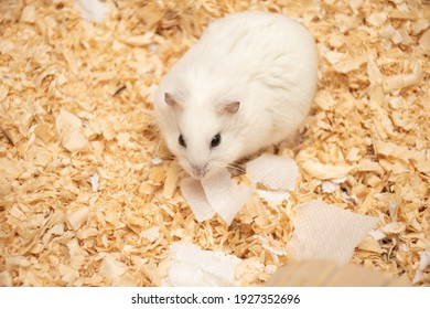 Cute little white hamster at his wooden house: a place for text