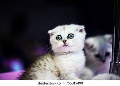 Cute little white kitten with amazing eyes