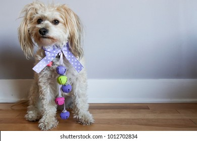 Cute little white poodle mix puppy dressed up for Easter