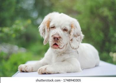 Cute little white puppy spaniel retriever lies, summer