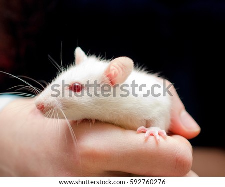 Cute little white rat in the researcher hand