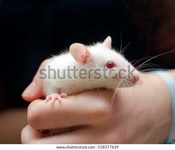 Cute little white rat in the researcher's hand