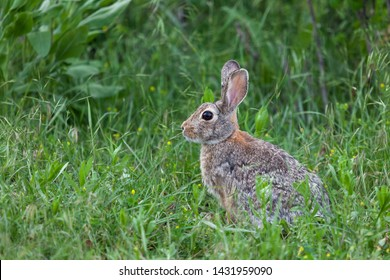 A cute little wild bunny rabbit sits in the vibrant green grass cautiously looking for signs of danger.