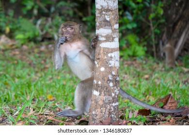 Cute little wild monkey is walking on two legs behind a tree in Phang Nga, Thailand, Asia