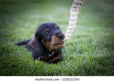 Cute little wire-haired miniature dachshund puppy enjoys summer and play with a twine on the lawn
