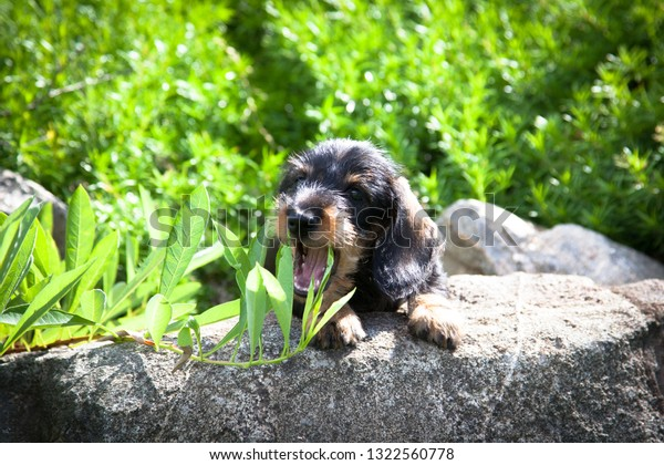 Cute little wire-haired miniature dachshund puppy playing with bush branch and enjoying the summer