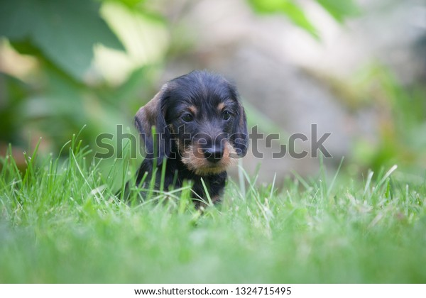 Cute little wire-haired miniature dachshund puppy dreaming and wondering on the lawn