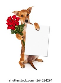 A cute little yellow crossbreed puppy sitting up while holding a dozen red roses and a blank white sign to enter your message onto