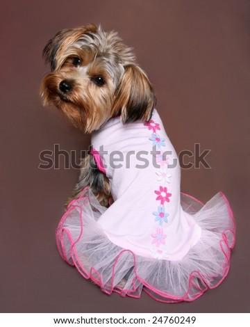 Cute Little Yorkie Pink Dress Stock Photo Edit Now 24760249