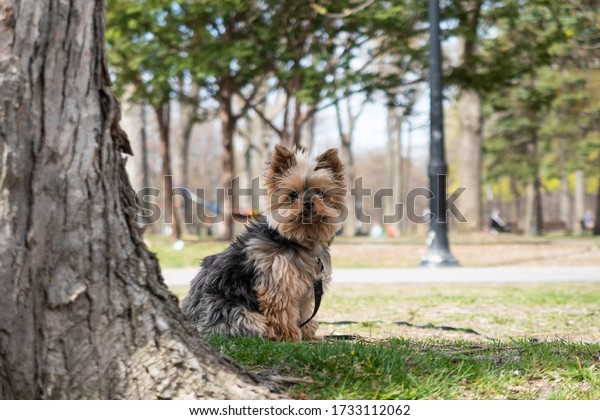 cute-little-yorkshire-terrier-looking-60