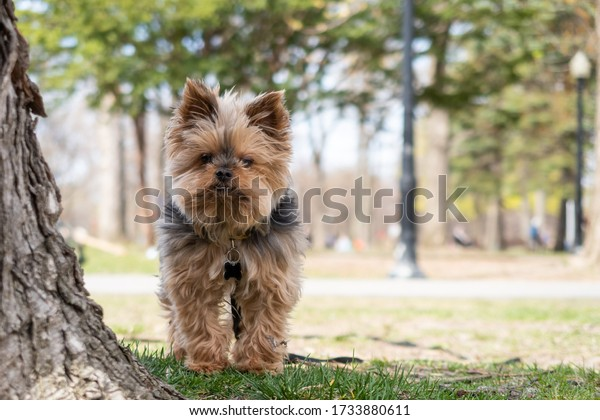 Cute little Yorkshire Terrier looking at the photograph in Lafontaine park, Montreal