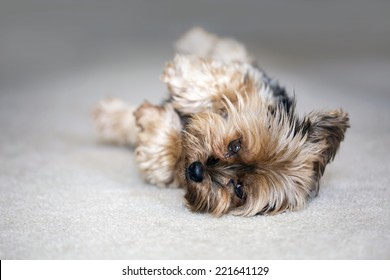 Cute little yorkshire terrier playing dead