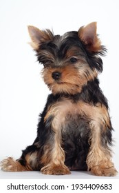 Cute little yorkshire terrier puppy sitting on white background and looking down. Funny dog with pretty face expression, copy space.