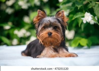 cute little Yorkshire terrier puppy lying  on the background blooming jasmine on a warm summer day