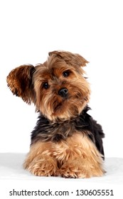 Cute little yorkshire terrier white background