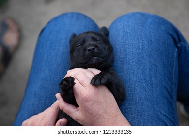 cute little young labrador retriever dog puppy pet gets cuddled by person